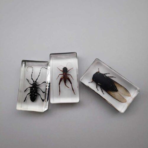 embedded specimen cicada