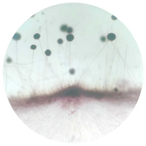 Aspergillus sp. whole mount prepared slides from China wholesale supplier