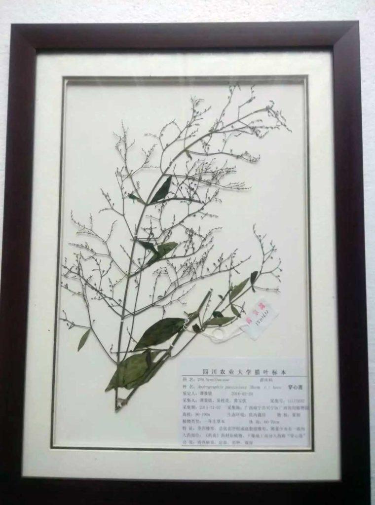 herbarium specimen Herba Andrographitis