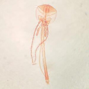 female culex mosquito mouthpart