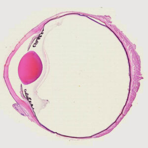 mammal eye section with the optic nerve