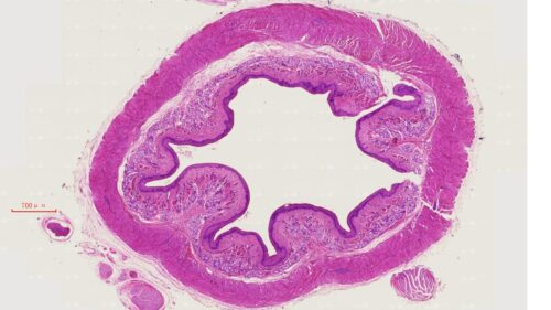 Esophagus Composite, cs. of upper, middle and lower 1/3 portions, mammal, H.E. stain 1