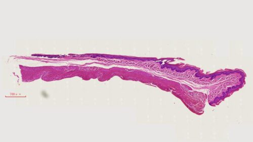Esophagus Composite, cs. of upper, middle and lower 1/3 portions, mammal, H.E. stain 2