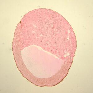 frog embryo blastula stage sec.